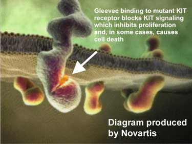 Gleevec binding to mutant KIT receptor blocks KIT signaling which inhibits proliferation and , is some cases, causes cell death.