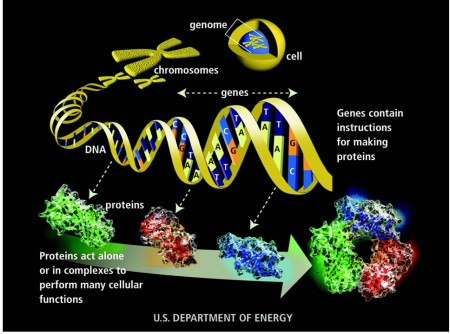 How a protein is made from instructions contained in a gene