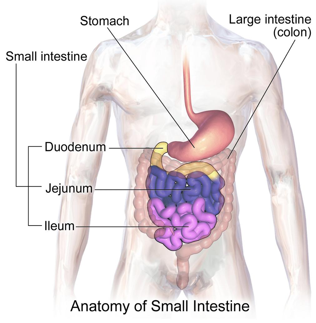 B12 Anatomy Illustration